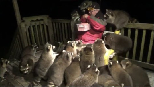 Racoon whisperer gets mobbed by 25 racoons whilst feeding them hotdogs