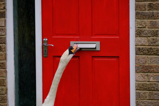 A mischievous swan has been spotted rattling letterboxes on a street in Northampton. The houses on Selston Walk in Northampton, sit alongside a pond where the swans normally live. However, one swan has taken a fancy to knocking the neighbors doors, despite residents fitting sonic animal deterrents. March 23, 2021. See SWNS story SWMDswan. Residents are spitting feathers after being plagued a pesky swan that raps on their front doors for hours on end. ???Cedric??? has targeted a row of houses opposite a lake in Northampton, but nobody knows why. Bizarre footage shows the bird poking its beak through letterboxes and noisily clanging the metal. Stephen Legg, 70, who lives on Selston Walk, Northants., has tried and failed to deter the antisocial visitor.