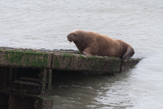 Alamy Live News. 2F5W72R Tenby, Pembrokeshire, West Wales, UK. 28 March 2021. An Arctic Walrus spotted for the 2nd day running, relaxes on the slipway of the RNLI lifeboat station. Known locally as 'Wally', the Walrus has believed to have came from Ireland. Credit: Andrew Bartlett/Alamy Live News. This is an Alamy Live News image and may not be part of your current Alamy deal . If you are unsure, please contact our sales team to check.