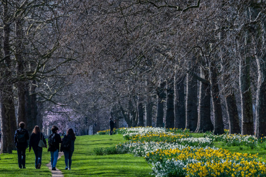 People enjoy spring weather blossom and daffodils in St James Park as London begins to come out of lockdown 3