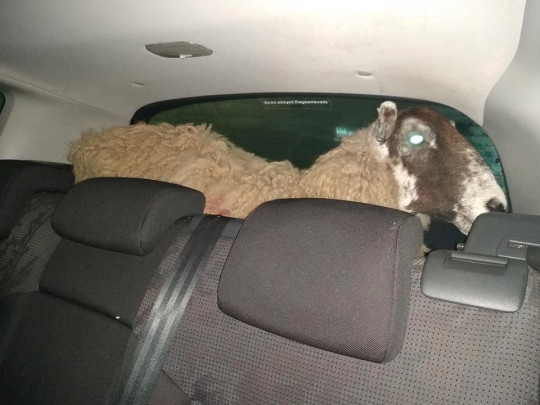 Leicestershire police said the ewe, which was found in the back of a Peugeot in Loughborough High Street on Friday (2/2) at 8.50pm. The farm animal is said to be in good health after being found stood up in the rear of the vehicle. The police are investigating but the driver and passenger claimed the animal was brought legitimately.