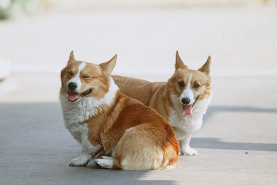 LONDON, UNITED KINGDOM - AUGUST 04: Queen Mother Corgis At Clarence House. (Photo by Tim Graham Photo Library via Getty Images)