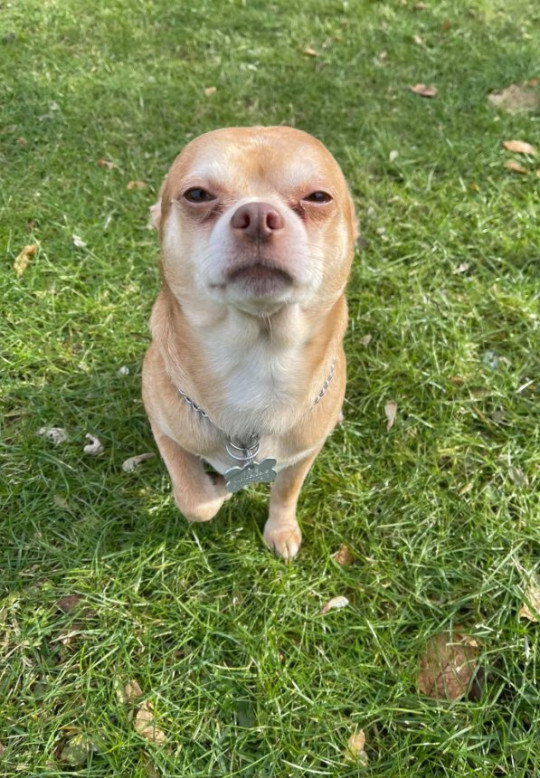 'Demonic' man-hating chihuahua Picture: Tyfanee Fortuna