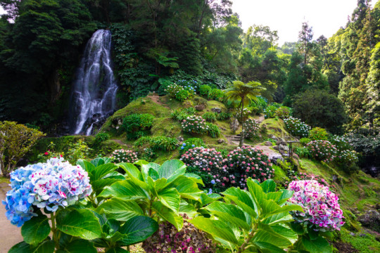 Paradisiacal Azores island view with waterfall, rainforest and flowers in bloom.
