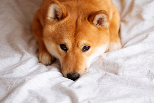 Japanese Shiba Inu dog on the bed at home
