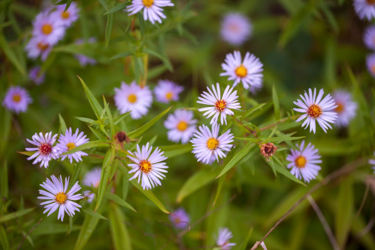 Dainty Autumn Asters