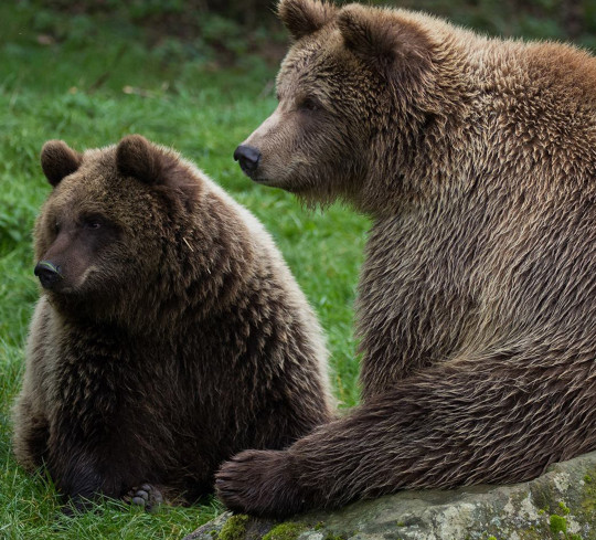 Bears Cinderella and Snow White previously pictured at Whipsnade zoo, before the latter was one of two to be euthanised on Friday