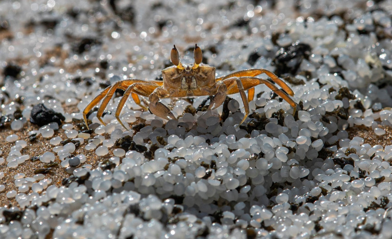 A crab roams on a beach polluted with polythene pellets that washed ashore from burning ship MV X-Press Pearl anchored off Colombo port at Kapungoda, out skirts of Colombo, Sri Lanka, Monday, May 31, 2021. The fire on the Singapore-flagged ship has been burning since May 20, ravaging the ship. Debris from the burning ship that has washed ashore is causing severe pollution on beaches. (AP Photo/Eranga Jayawardena)
