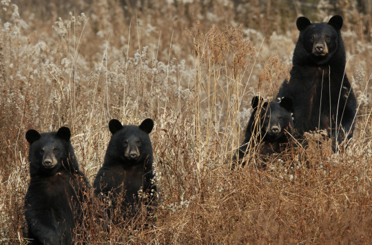 Four black bears have been spotted in the neighbourhood by the Montecito Association where Prince Harry and Meghan live.