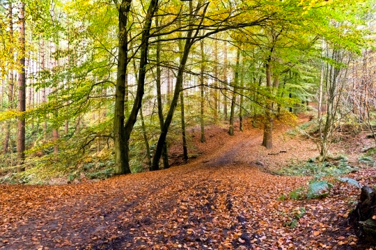 Path through Delamere forest, Cheshire