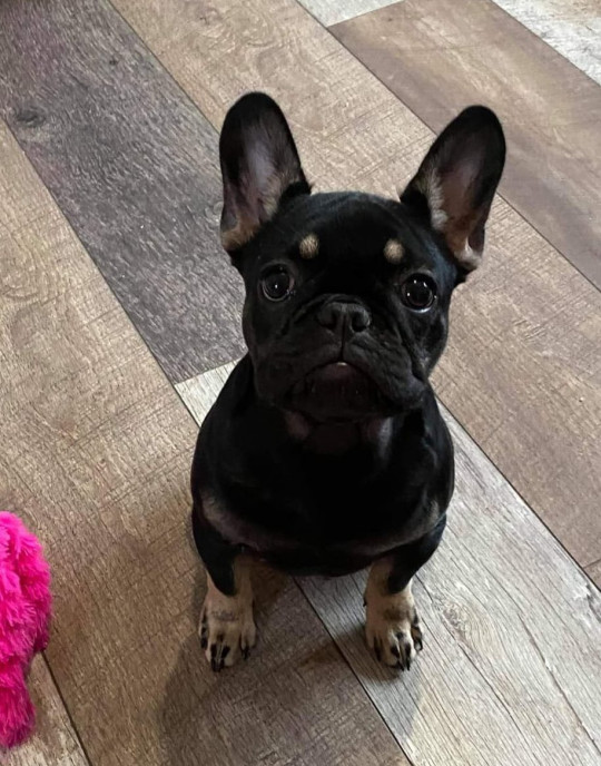 An amputee has been left needing surgery after being beaten by knife-wielding thugs as he saved his nine-month-old dog from abduction. Andy Garside was walking his family's French bulldog Lilo through Hattersley, in Tameside, on Tuesday evening (June 8) when he noticed two young men walking behind him. Lilo the French bulldog was left terrified from the incident Submitted picture Credit: MEN Media