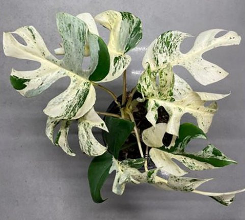 Houseplant sells for thousands