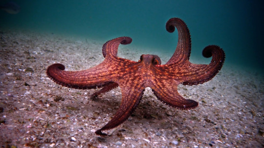 An octopus in the sea.  The Conservative Animal Welfare Foundation wants the law to recognise octopuses and lobsters as sentient.
