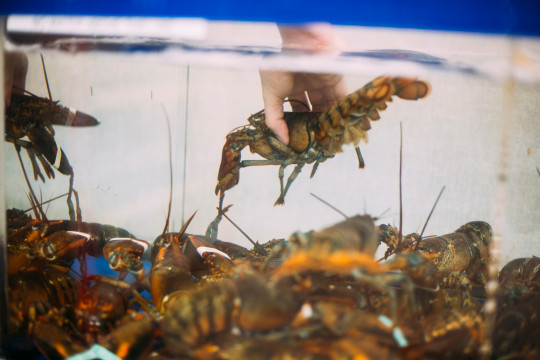 Lobster being pulled from a tank. .  The Conservative Animal Welfare Foundation wants the law to recognise octopuses and lobsters as sentient.