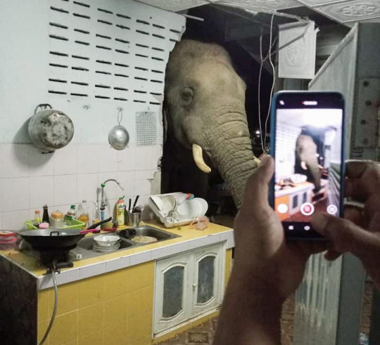 Hua Hin, southern Thailand, June 20, 2021 (photographs, video still)??????NEWS COPY - WITH VIDEO AND PICTURES??????This is the terrifying moment a family found a hungry wild elephant with its head poking through their kitchen wall stealing a bag of rice. The bull named Plai Bunchuay sniffed out the food and smashed through the concrete structure in Hua Hin, southern Thailand, on Sunday morning at 2 am. Shocked resident Rachadawan Phungprasopporn and her husband were woken up by the noise and rushed to the kitchen to see what had happened. They were astonished to see the jumbo with its huge ivory tusks rummaging through the cupboard with its long trunk. It even grabbed a plastic bag of rice which it shoved into its mouth. Rachadawan said her husband helped to shoo away the beast, which disappeared into nearby woodland. She said: 'This elephant is well known in the area because he causes a lot of mischief. He came to the house about two months ago and was looking around, but he didn't damage anything then. 'We spoke to the local wildlife officers and they told us not to keep food out in the kitchen because the smell attracts the elephants, so we followed their advice. 'The wall will cost about 50,000 Baht to repair. It was funny to see the elephant like that but also I'm worried he could come back again.' Thailand has an estimated 2,000 Asian elephants living in the wild but there is often conflict when they come into contact with humans on roads and in villages. Staff from the country's National Park - the sprawling area of protected woodland where wild elephants live - believe the animals have changed their behaviour in response to the food available from humans. Conservation officer Supanya Chengsutha said: 'The most likely explanation for this situation is that the elephant smelled the food and wanted to eat it. It's not because the elephant was particularly hungry, as the food in the jungle has stayed the same. There is plenty and that hasn???t chang