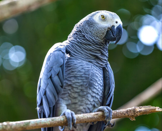 African grey parrot on a branch of tree.