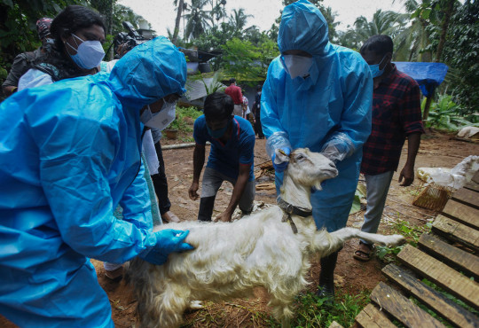 Health workers collect blood samples from a goat to test for the virus after a 12-year-old boy died of the Nipah virus in Kozhikode, Kerala state, India, Tuesday, Sept.7, 2021.